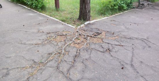 Pine-tree_roots.